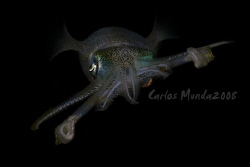 Big fin reef squid, night dive - anilao, batangas. Canon ... by Carlos Munda