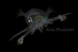 Big fin reef squid, night dive - anilao, batangas. Canon ... by Carlos Munda