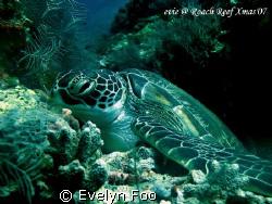 Turtle at Drop-Off - Sipadan Island (23/12/07).  by Evelyn Foo