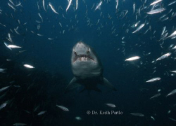 North Carolina Sand tiger shark on a collision course div... by Keith Partlo