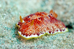 Red-Spotted Nudibranch taken @ Kahe state park on Oahu in... by Stuart Ganz