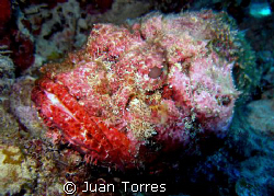 Scorpion Fish, in Vieques, Puerto Rico.   by Juan Torres