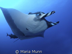 Swimming with a Giant Pacific Manta Ray is one of my favo... by Maria Munn