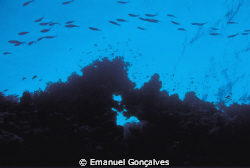 Caesio sp. (Fusilier), Aboukifan (Panorama Reef) Egyptian... by Emanuel Gonçalves
