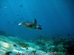 On the Safety Stop this Hawksbill came swimming by.. by Johan Van Der Windt