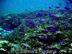 FAIRY BASSLET/What awaits unlucky shark hunter ascending ... by Bernard Maglana