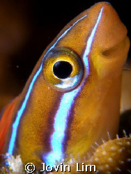 What a cutie! Bluestriped fang blenny (Plagiotremus rhino... by Jovin Lim