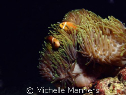 Clown fish in anemone by Michelle Manners