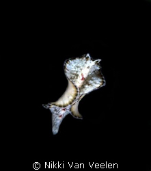 Tiny flatworm swimming on a night dive taken at Sharksbay. by Nikki Van Veelen