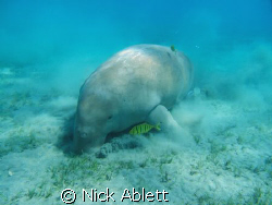 The Marsa Abu Dabbab dugong. by Nick Ablett