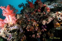 Lionfish & Corals at Malapascua by Taco Cheung