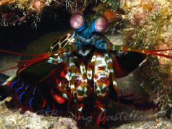 Mantis Shrimp - Taken in Anilao Batangas. Camera used: Ca... by Arthur Castillo