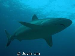 Silvertip shark, Carcharhinus albimarginatus at Silverado... by Jovin Lim