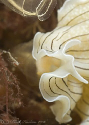 Candy stripe flatworm. North Wales. 60mm. by Derek Haslam