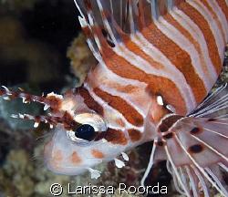 A lionfish in Palau by Larissa Roorda