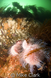 CFWA Sea Urchin With kelp topped cliff in background. Ni... by Mike Clark
