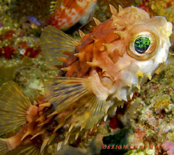 Orbicular  Burrfish. Bunaken. Nikon D200. by Leigh Chapman