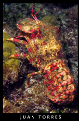 REGAL SLIPPER LOBSTER (uncommon) at a night dive in Desec... by Juan Torres