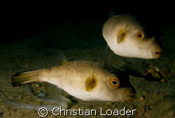 Immaculate Pufferfish - under the jetty at Air Batang on ... by Christian Loader