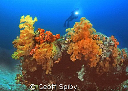 the beautiful soft corals of northern Sulawesi by Geoff Spiby