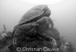 crab&shrimp, oosterschelde, visibility 5Ocm, so black&whi... by Christian Cauwe