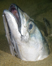The rare mackerel head snake eel!