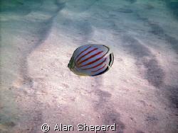 I like this little guy.  H-Bay, Oahu, Hawaii.   by Alan Shepard