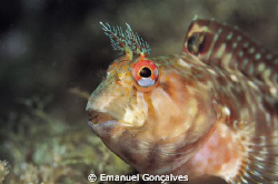 Parablennius ruber (Red blenny), Nikon F50 60mm Micro Nik... by Emanuel Gonçalves