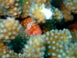 Spotted Coral Hawkfish playing Hide and seek is the way t... by Ray Shaer