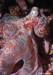 During a night dive in Roatan we found this Octopus on th... by Steven Anderson