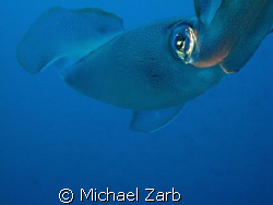 A squid which laid eggs off the p29 wreck in cirkewwa, Ma... by Michael Zarb
