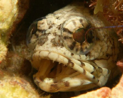 Jawfish by David Heidemann