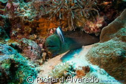 Morray eel taken in Palau. by Richard Alvarado