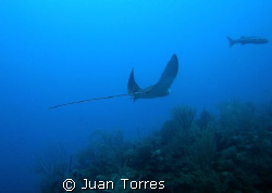 SPOTTED EAGLE RAY, Ceiba, Puerto Rico by Juan Torres