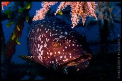 Giant grouper in Mabul. by Soren Egeberg
