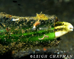 For this blenny, Home Sweet Home is a green bottle. Bunak... by Leigh Chapman