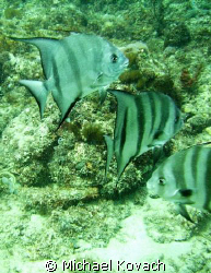 Spadefish on the inside reef  at Lauderdale by the Sea.  ... by Michael Kovach