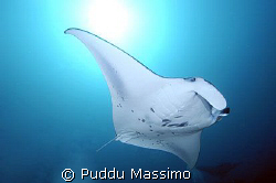 manta ray,nikon d2x 17-35mm by Puddu Massimo