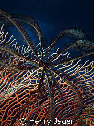 feather star on red gorgonia by Henry Jager