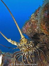 A Socorro spiny lobster. It can be found in Revillagigedo... by Ramón Domínguez