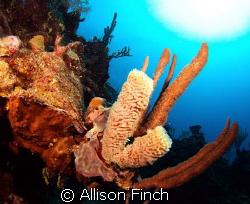 Tube sponge in the depths. by Allison Finch