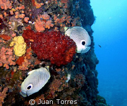 A couple of FOUREYE BUTTERFLY FISHES.  I guess that makes... by Juan Torres