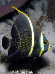 French Angelfish, nigth dive, Bonaire by Abimael Márquez