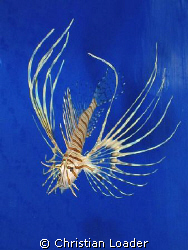juvenile Common Lionfish by Christian Loader