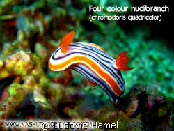 nudibranche quadricolor by Ludovic Hamel