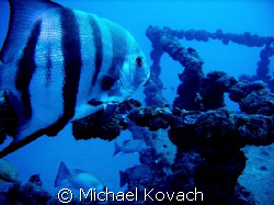 Atlantic Spadefish on the wreck of the Speigel Grove off ... by Michael Kovach