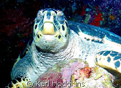 Mr T. This was the biggest Turtle I have ever seen must h... by Karl Hodgkins