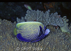 "A ""teenager"" Emperor angelfish-you can still see the fein... by Geoff Spiby"