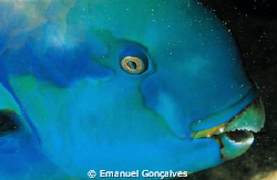 Scarus gibbus (Steepheaded parrotfish), Aboukifan (Panora... by Emanuel Gonçalves