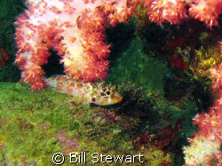 I believe this must be some type of juvenile scorpionfish... by Bill Stewart